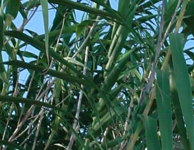 Case Study: How best to eradicate Spanish Reed